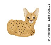 adult african serval lying on... | Shutterstock .eps vector #1255908121