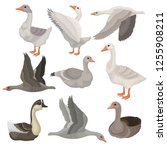 flat vector set of large geese... | Shutterstock .eps vector #1255908211