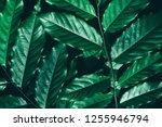 dark green leaf  lush foliage... | Shutterstock . vector #1255946794