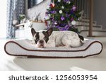 french bulldog lying down under ... | Shutterstock . vector #1256053954