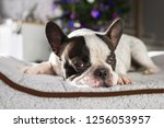 french bulldog lying down under ... | Shutterstock . vector #1256053957