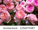 Stock photo a group of pink rose 1256074387
