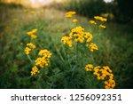 tansy   tanacetum vulgare   is... | Shutterstock . vector #1256092351
