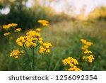 tansy   tanacetum vulgare   is... | Shutterstock . vector #1256092354