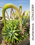 Small photo of Agave Attenuata in Canary Islands