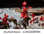 beautiful red flowers in a... | Shutterstock . vector #1256308984