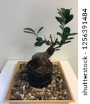 indoor plant bonsai tree office ...   Shutterstock . vector #1256391484