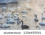 beautiful white whooping swans...   Shutterstock . vector #1256455531
