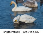 beautiful white whooping swans...   Shutterstock . vector #1256455537