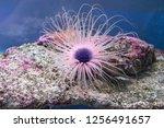 sea anemone in the aquarium. | Shutterstock . vector #1256491657