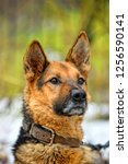 portrait of a shepherd dog on a ... | Shutterstock . vector #1256590141