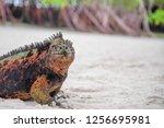 portrait of galapagos marine... | Shutterstock . vector #1256695981