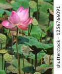 pink lotus flower in the nature | Shutterstock . vector #1256766091