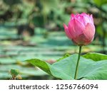 pink lotus flower in the nature | Shutterstock . vector #1256766094