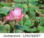 pink lotus flower in the nature | Shutterstock . vector #1256766097