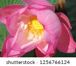 pink lotus flower in the nature | Shutterstock . vector #1256766124