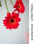 isolated red gerbera daisy on a ... | Shutterstock . vector #1256770621