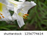 lilies lilium lily   flowers... | Shutterstock . vector #1256774614