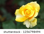 closeup of beautiful yellow rose | Shutterstock . vector #1256798494