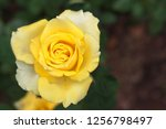 closeup of beautiful yellow rose | Shutterstock . vector #1256798497