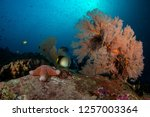 cushion sea star with knotted... | Shutterstock . vector #1257003364