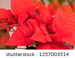 closeup of red poinsettia... | Shutterstock . vector #1257003514