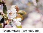 beginning of spring blooming... | Shutterstock . vector #1257009181