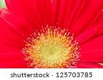Red  gerbera daisey flower close up. selective focus - stock photo