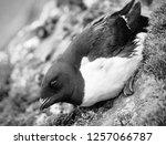 portrait of dovekey  plautus... | Shutterstock . vector #1257066787