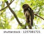 common urutau potoo  nyctibius... | Shutterstock . vector #1257081721