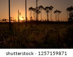 Small photo of South Florida pine rockland forest at sunset, in Picayune Strand State Forest