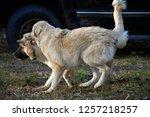 Anatolian Shepherd Puppies...