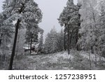 snowy forest woods   cold and... | Shutterstock . vector #1257238951