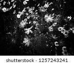 white   black cosmos | Shutterstock . vector #1257243241