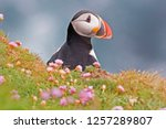an atlantic puffin  fratercula... | Shutterstock . vector #1257289807