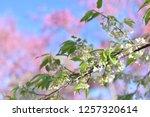 Wild Himalayan Cherry Or Sakura ...