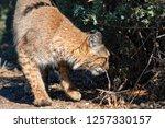 adult female bobcat  lynx rufus ... | Shutterstock . vector #1257330157