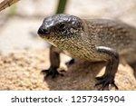 lizard under the sun western... | Shutterstock . vector #1257345904