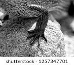 detail black and white lizard | Shutterstock . vector #1257347701
