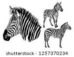 graphical set of zebras ... | Shutterstock .eps vector #1257370234