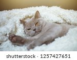 the lazy gray cat of breed the... | Shutterstock . vector #1257427651