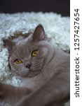 the lazy gray cat of breed the... | Shutterstock . vector #1257427654