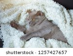 the lazy gray cat of breed the... | Shutterstock . vector #1257427657