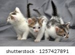 three kittens against a gray... | Shutterstock . vector #1257427891