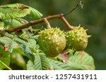 horse chestnut tree on autumn   Shutterstock . vector #1257431911