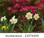 A close-up of some colorful daffodils with Spring flowers in the background. - stock photo