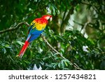 Scarlet Macaws  Ara Macao  Bird ...