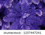 purple leafs of fern with...   Shutterstock . vector #1257447241
