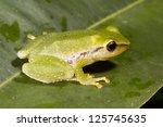 green rain frog  pristimantis... | Shutterstock . vector #125745635