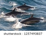 false killer whales | Shutterstock . vector #1257493837